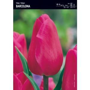 Tulipan Tradycyjny Barcelona Cebulka 5szt