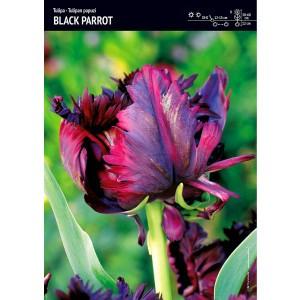 Tulipan Papuzi Black Parrot Cebulka 5szt