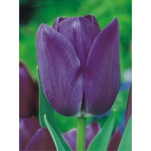 Tulipan Blue Aimable Cebulka 5szt