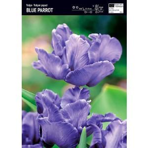 Tulipan Papuzi Blue Parrot Cebulka 5szt