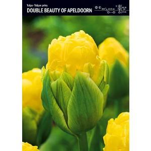 Tulipan Double Beauty Of Apeldorn Cebulka 5szt