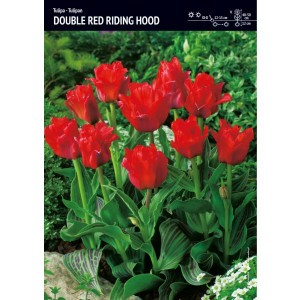 Tulipan Niski Red Riding Hood Cebulka 5szt