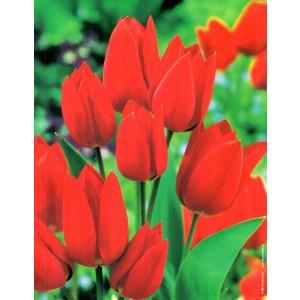 Tulipan Fiery Club Najbardziej Czerwony Cebulka 5szt