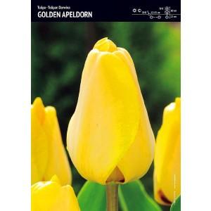Tulipan Golden Apeldorn Cebulka 5szt