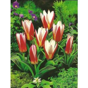 Tulipan Heart's Delight Cebulka 5szt