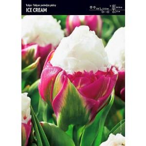 Tulipan Ice Cream Cebulka 1szt