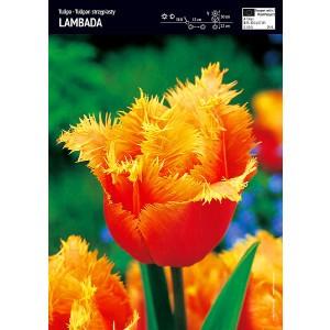 Tulipan Lambada Cebulka 5szt