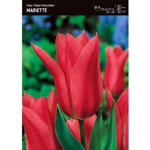 Tulipan Liliokształtny Mariette 5szt