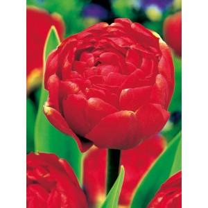 Tulipan Miranda Cebulka 5szt