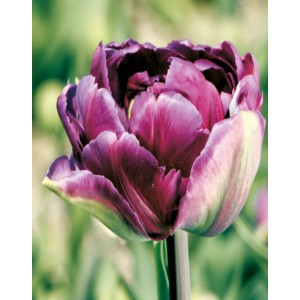 Tulipan Negrita Double Cebulka 5szt