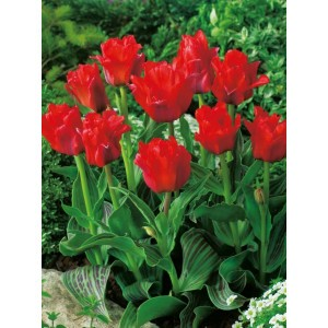 Tulipan Niski Red Riding Hood Cebulka 5szt