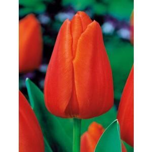 Tulipan Pomarańczowy Triumph Orange Cebulka 5szt