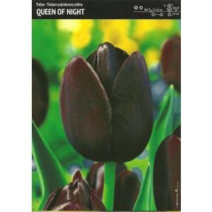 Tulipan Queen Of Night Cebulka 5szt