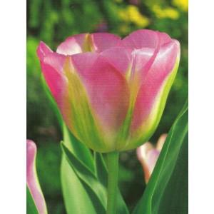 Tulipan Różowo Zielony Groenland Cebulka 5szt