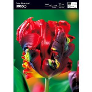 Tulipan Papuzi Rococo Cebulka 5szt