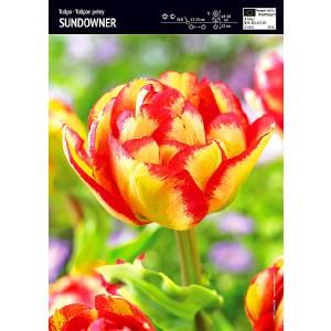 Tulipan Sundowner Cebulka 5szt