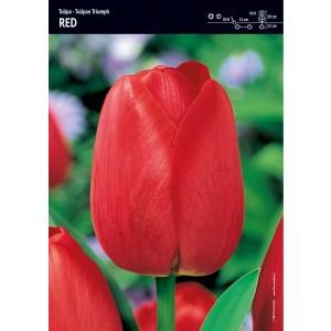 Tulipan Triumph Red Piękna Czerwień Cebulka 5szt