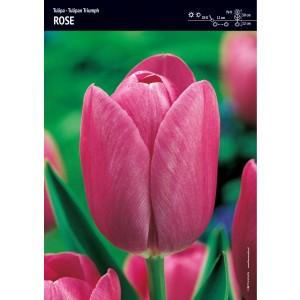Tulipan Triumph Rose Niepowtarzalny Róż Cebulka 5szt