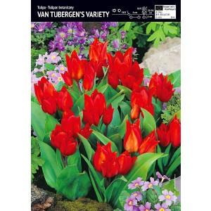 Tulipan Van Tubergen's Variety Cebulka 5szt