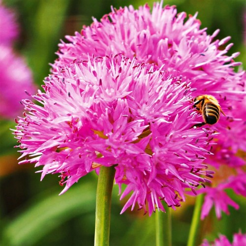 Allium - Czosnek Carolinianum 3szt