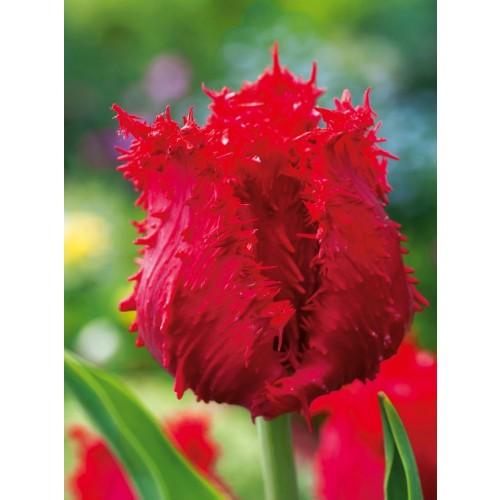 Tulipan Barbados Cebulka 5szt