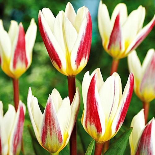 Tulipan Niski Ice Stick 5szt