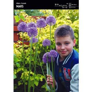 Allium Czosnek MARS Cebulka 1szt
