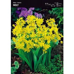 Czosnek Złocisty Moly Allium 10szt