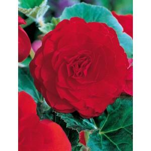 Begonia Podwójna Czerwona 1szt.