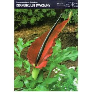 Dracunculus Vulgaris Drakunkulus Zwyczajny Cebulka 1szt