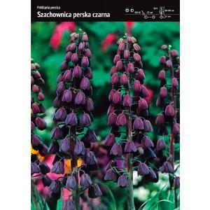 Fritllaria Persica Szachownica Perska Czarna Cebulka 1szt