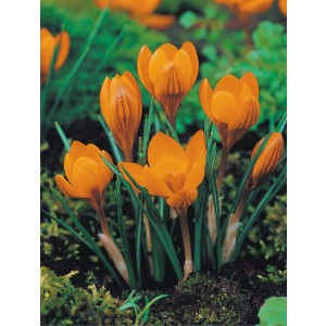 Krokus Orange Monarch Cebulka 10szt