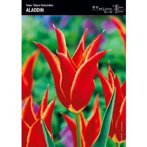Tulipan Aladdin Kształt Lilii Cebulka 5szt