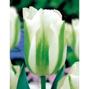 Tulipan Biało Zielony Spring Green Cebulka 5szt