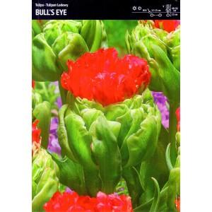 Tulipan Bull's Eye Cebulka 3szt