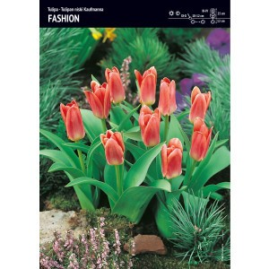 Tulipan Fashion Cebulka 5szt