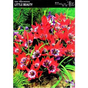 Tulipan Little Beauty 5szt