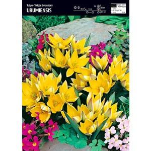 Tulipan Urumiensis 5szt