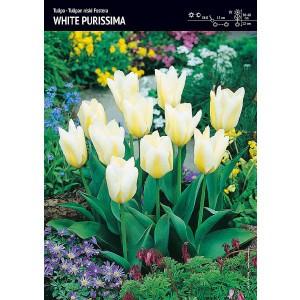 Tulipan Niski White Purissima Cebulka 5szt