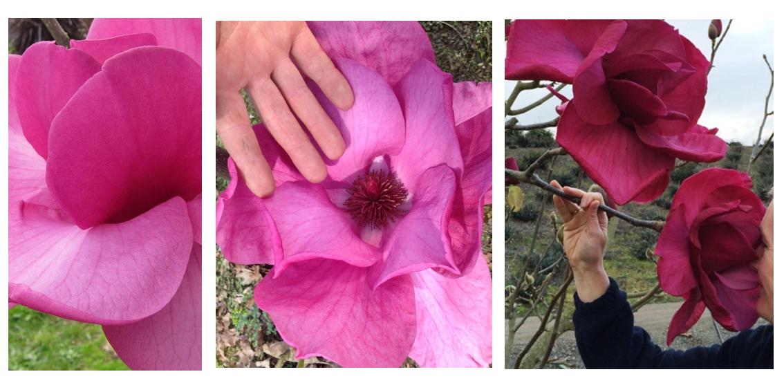 różowa magnolie Felix
