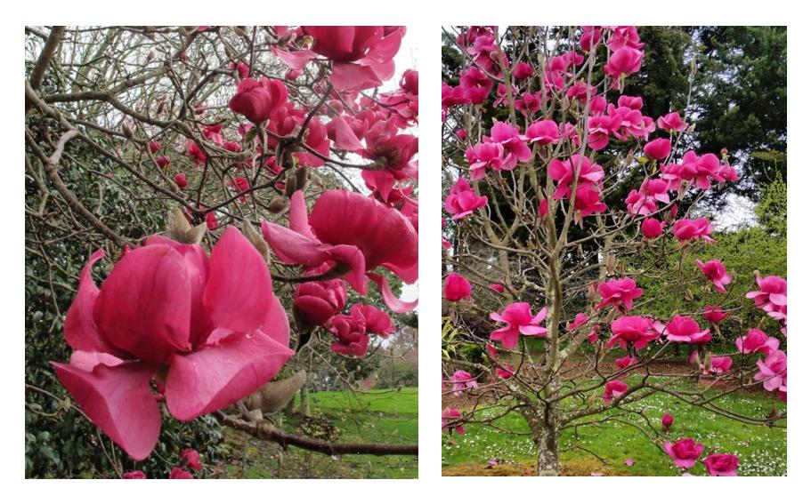 różowa magnolia Felix