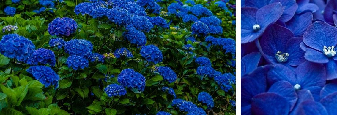 Hortensja niebieska Nikko Blue