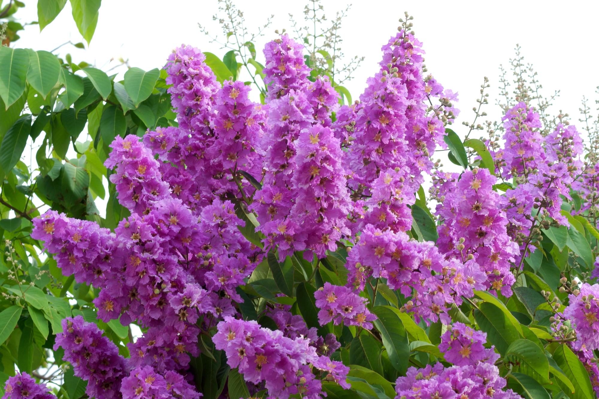 Lagerstroemia kwiat