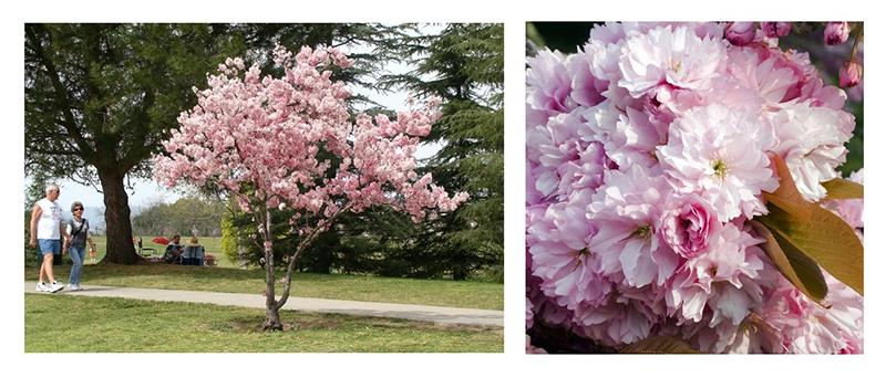 Wiśnia Piłkowana Pink Perfection Gardenowo