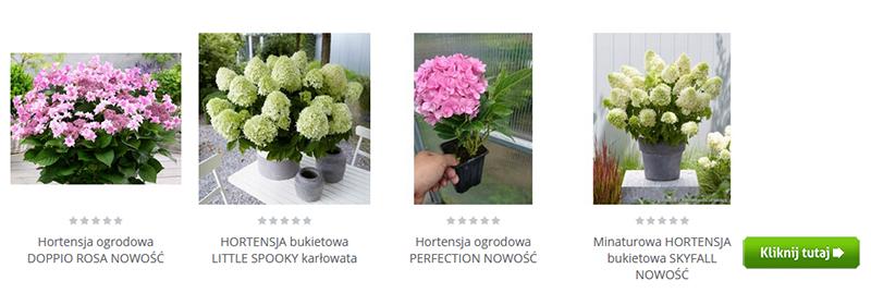 kolorowe hortensje Gardenowo