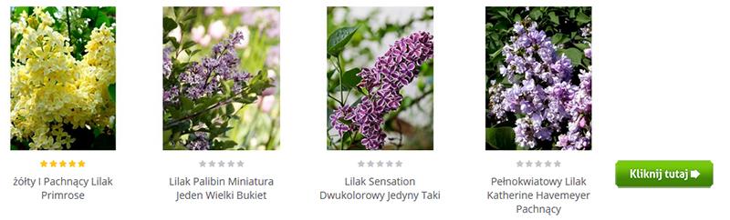 liliaki sadzonki krzewy Gardenowo