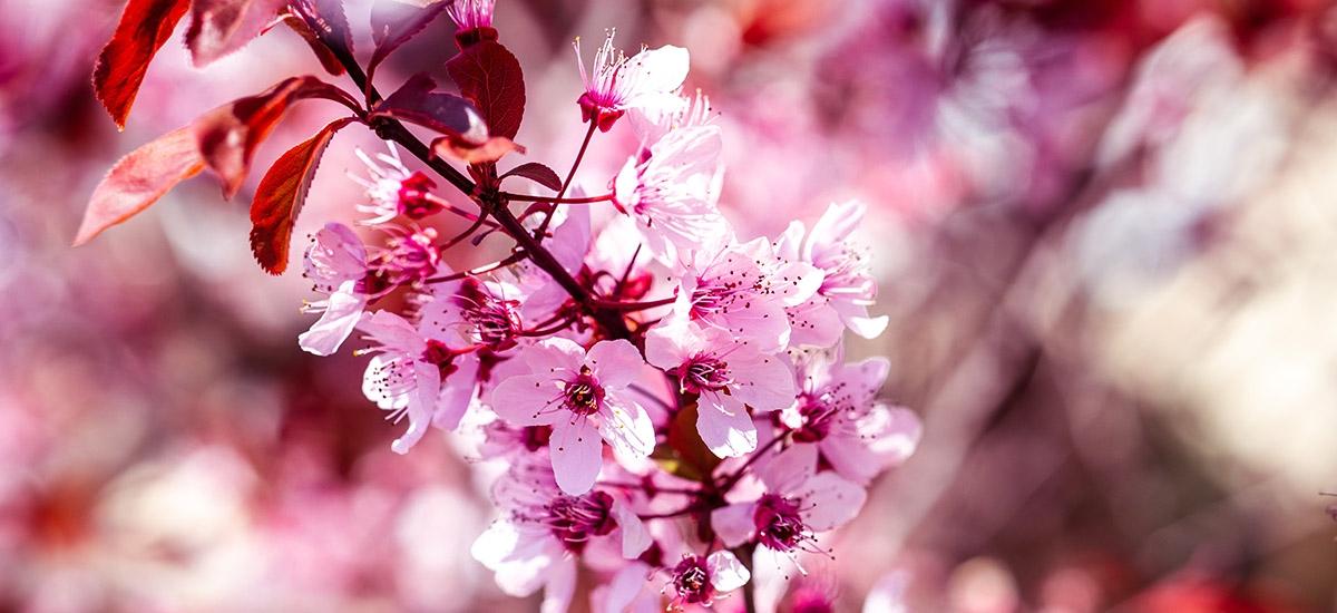 wiśnia drzewo, kwiaty wiśni
