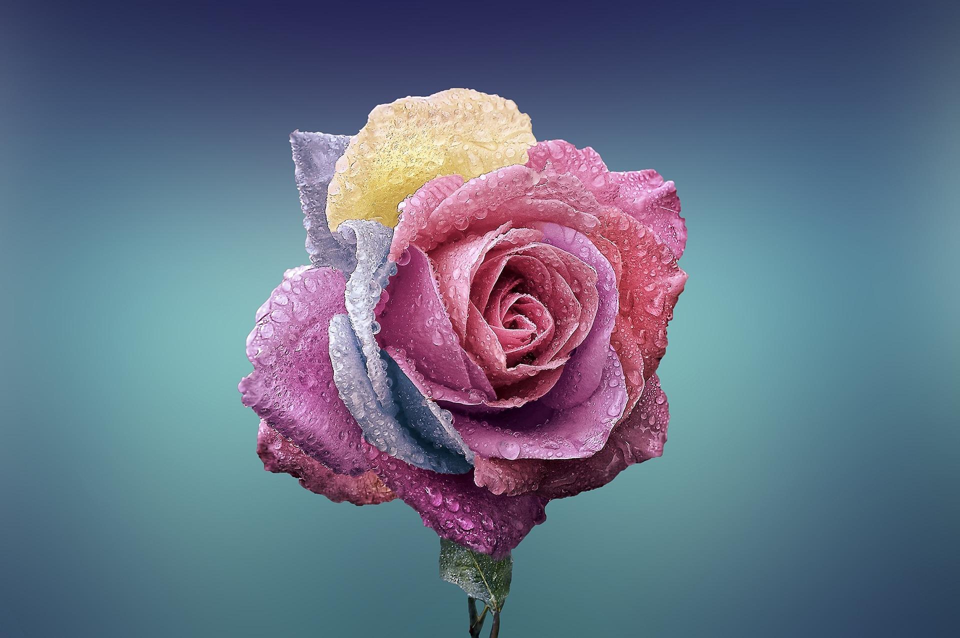 rosa na różach Gardenowo